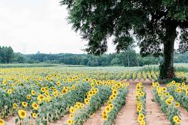 sunflower plant care growing guide