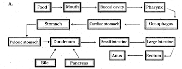 Draw A Flow Chart Of Human Digestive System Cbse Class 10