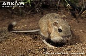 Rodents Lower Classifications Heteromyidae Alchetron The Free Social Encyclopedia