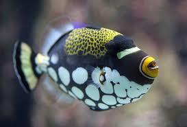 clown triggerfish. Interesting Triggerfish Clown Triggerfish Intended F