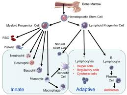 Immune System Cells Chart Cells Of The Innate And Adaptive Immune System Adapted From
