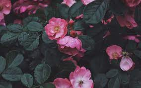 Aesthetic Roses Laptop Wallpapers ...
