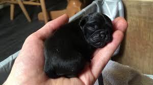 newborn baby pugs. Brilliant Newborn Cute New Born Baby Pugs  Just Listen To Them And Newborn Baby Pugs N