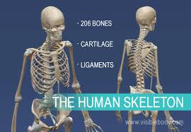 Overview of <b>Skeleton</b> | Learn <b>Skeleton</b> Anatomy