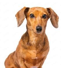 Dachshund dog isolated on white photo ...