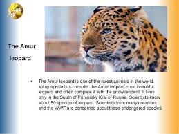 Презентация пот английскому языку на тему Вымирающие животные  the amur leopard the amur leopard is one of the rarest animals in the world