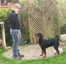 Rottweiler Size Chart Specific Rottweiler Height Weight Chart Doberman Growth