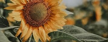Le tournesol : symbole & signification   Fleur&Fleuri