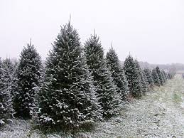 Cut Your Own Christmas Tree Located 6 miles east of Westfield on Cty Hwy E  (between Cty B and Cty Y)