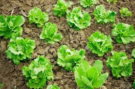 easy vegetable garden plants