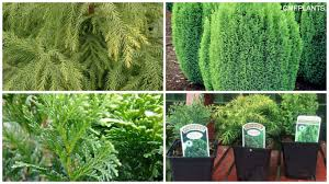 3 pack off mixed heathers in 9cm pots evergreen borders shrubs trees lawns patio