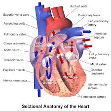 pericardial sac human heart layers image anatomy of the pericardial sac heart
