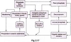 phosphorus cycle essay on the phosphorus cycle earth geography phosphorus cycle