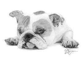 bulldog puppy drawing. Delighful Puppy Pencil Drawing Of A English Bulldog Puppy In Puppy Drawing M