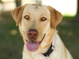 yellow lab with blue eyes. Exellent Eyes And Yellow Lab With Blue Eyes U