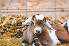 Goat Birthing Chart A Natural Goat Dewormer That Works Weed Em Reap