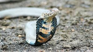 cobra snakes picture large cobra snake king cobra snakes hd images
