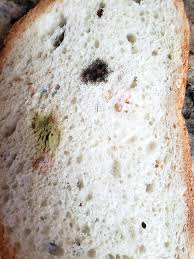 How Fast Does Mold Grow On Bread Mold Growing Rapidly On Moldy Bread