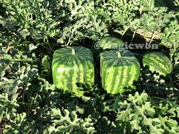 square watermelon plant. Simple Square Square Watermelon Mold 18 Cm Size With Free Shipping For Watermelon Plant