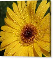 yellow gerbera on gerber daisy canvas wall art with gerbera daisy canvas prints fine art america