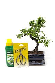 chinese elm bonsai tree you choose 7yr chinese elm gift set amazon co uk garden outdoors