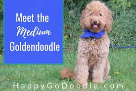 Goldendoodle Weight Chart The Medium Goldendoodle A Complete Guide To These Cute