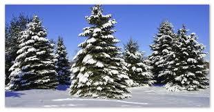 Ель сообщение о дереве описание где растёт как размножается и  Могучие ели реферат