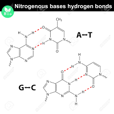 Nitrogenous Bases Molecular Structures And Hydrogen Bonds Between