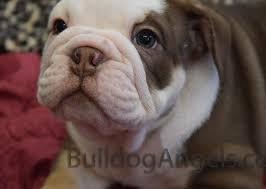 major chocolate english bulldog