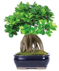 ginseng grafted ficus bonsai tree asian plants bonsai tree office table