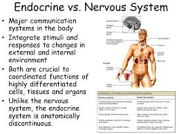Comparative Functions Of Nervous And Endocrine Systems Chart Endocrine System Ppt Video Online Download