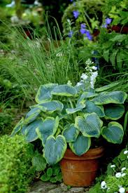 I plant hosts in containers and scatter them around my various pocket  gardens. The added height adds interest.