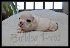 white baby english bulldog. Fine Baby Our SuzieLarry Puppies Born July 10 2014 Have Now Been Reserved For  Adoption 6 Baby Girls U0026 3 Little Boys White Male English Bulldog  I