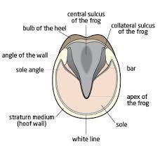 Equine Hoof Anatomy Horse Hoof Diagram Parts Of A Horse Hoof