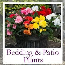 bedding plants plug plants uk grown