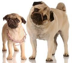teacup pug full grown.  Pug Pug Dog Breed With Teacup Full Grown G