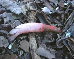 fungus on mulch stinkhorn