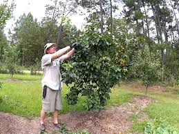 How To Prune Plum Trees 11 Steps With Pictures  WikiHowCan You Prune Fruit Trees In The Summer