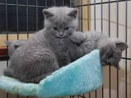 british shorthair kittens for adoption singapore free clifieds muamat