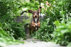 a small dog bounds down a garden path