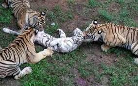 Yavru kaplan, Sibarya kaplanlarına yem oldu! - Haber3