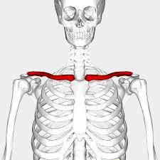 「鎖骨」の画像検索結果