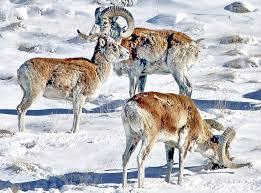 Животные Кыргызстана Фауна Форум Центральноазиатского  1021024936 jpg