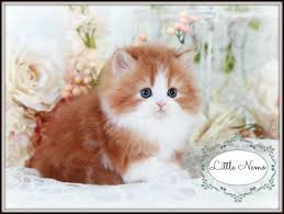 cute white fluffy kittens for sale. Exellent White Kitten Sell 84 Best Adorable Teacup Kittens For Sale Images On Pinterest For Cute White Fluffy