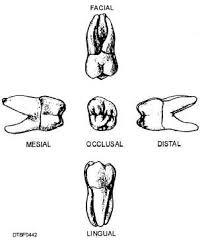 Maxillary Second Molar Maxillary Third Molar