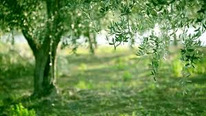 olive green tree growing in the garden natural sunny background hd 1080