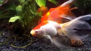 Fantail Goldfish Growth Chart Fantail Goldfish The Ultimate Care Guide Lifespan Size