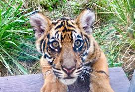 after 4 months of waiting the pair of sumatran tiger cubs born at kingdom finally made their public debut this morning