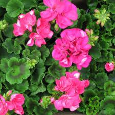 Image result for summer bedding plants