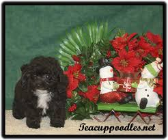 teacup female poodle color black with white chest weight 23 oz height 5 inches dob 10 03 18 posted 12 06 18 9 weeks old